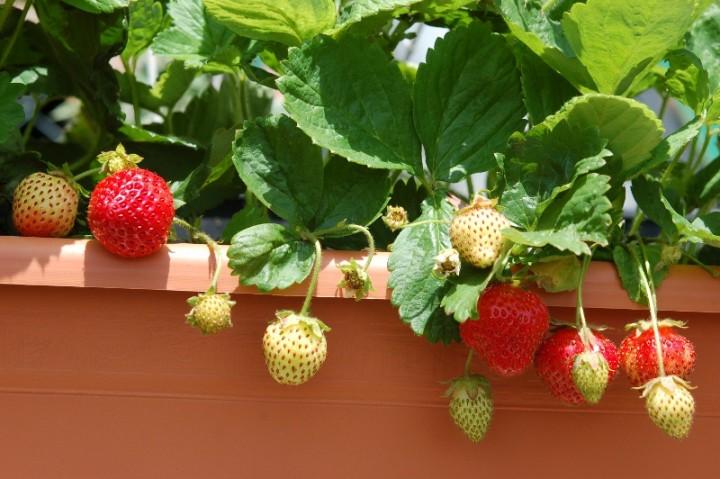 truskawki uprawa warzywa i owoce ogr d. Black Bedroom Furniture Sets. Home Design Ideas
